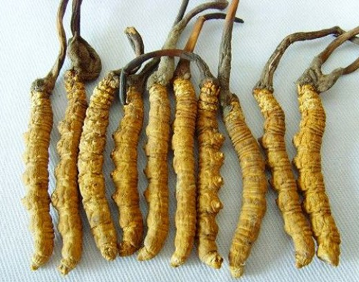 Caterpillar fungus, the colloquial name for Cordyceps sinensis, is highly prized in Tibetan and Chinese medicine. It is regarded as having an excellent balance of yin and yang, as it is both plant and animal.