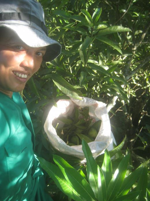 At the top of an Indian mango tree (Photo Source: Ireno Alcala)
