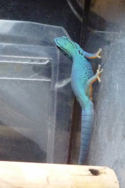Electric Blue Gecko Caresheet