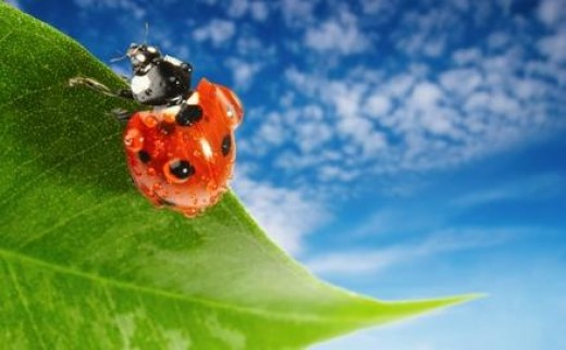 Ladybugs love to eat aphids! So it you have this problem on your prize roses or veggies, consider this natural enemy as a non toxic cure.