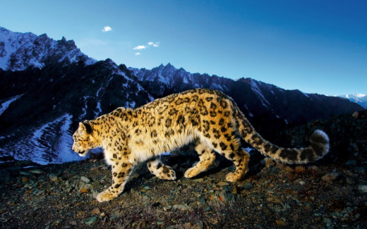 Snow Leopard on the prowl through the courtesy of The Lovely Planet.