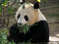 Interesting Facts About The Giant Panda