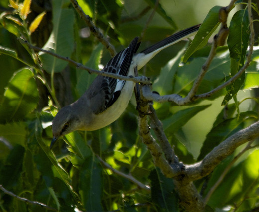Northern Mockingbird Seeking a Respite from His Transgression with the Western Kingbird