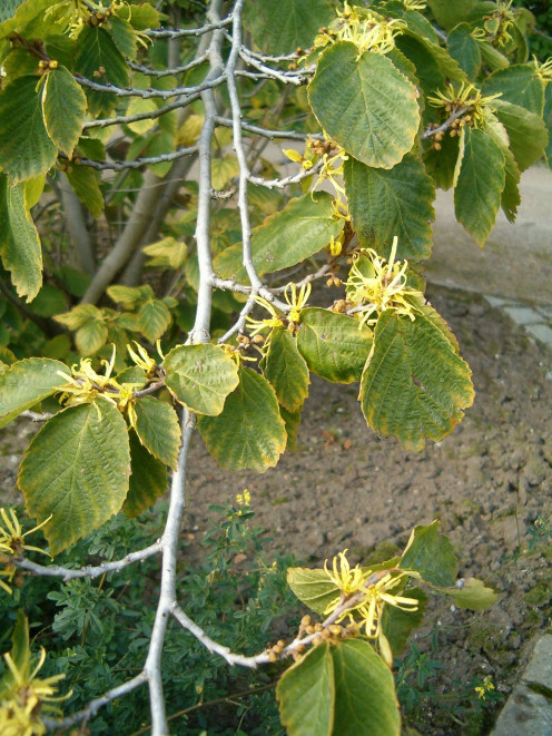 witch hazel is an astringent produced from the leaves and bark of the Hamamelis virginiana species.