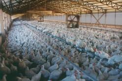 'Organic' Chicken Farm