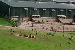 Free-Range Chicken Farm
