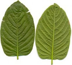 All About Kratom - Nature's Pain Reliever