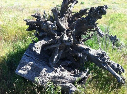 An Uprooted Tree Trunk Along the Fort Walla Walla Trail