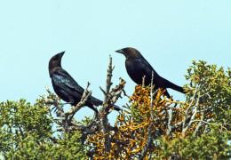 Two Brown-headed Cowbirds