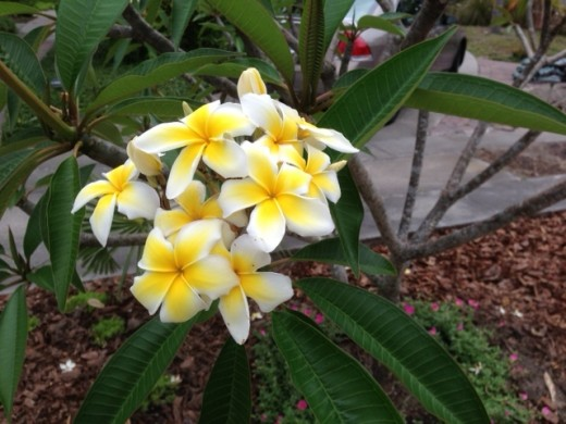 closeup of a cluster of frangipani blossoms,