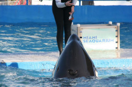 Lolita resides in a controversially small tank at Miami Seaquarium (40 years). She has killed no one. *Some users have notified me that Corky is believed to be 48 years old.