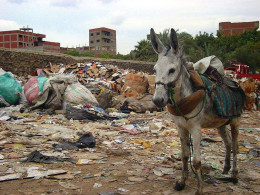 Donkeys are often used to bring garbage to Garbage City in Egypt