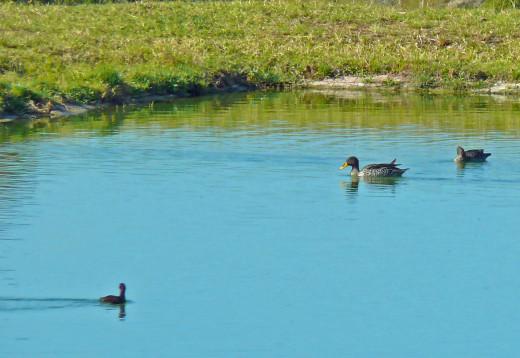 Yellow-billed Duck in sewage ponds