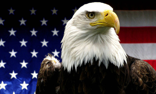 American Bald Eagle - Taken at the Hoogle Zoo in UT