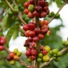 Coffee Bean Extract and Weight Loss