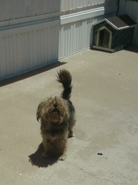 This seemingly Ferocious Fuzzy Furball is ordinarily a cowering craven canine while the mailman is standing at the box. Then, as the mailman is driving away he transforms into the fearsome shaggy beast you see here!