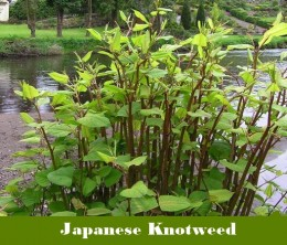 What is Japanese Knotweed.  CC BY-SA 2.0