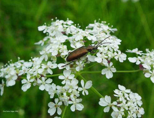 A hide beetle.