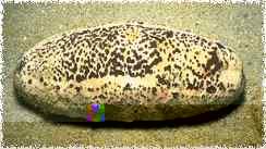White Cuvierian Tubules