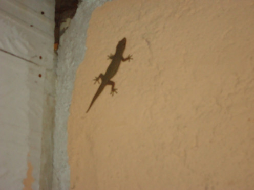 Gecko in the room, Perhentian Kecil