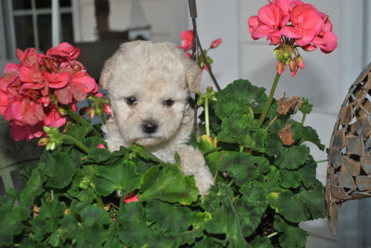 Maltipoo Puppy Sitting next to Pink Flowers