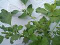 Kalunay - Amaranthus Dubius