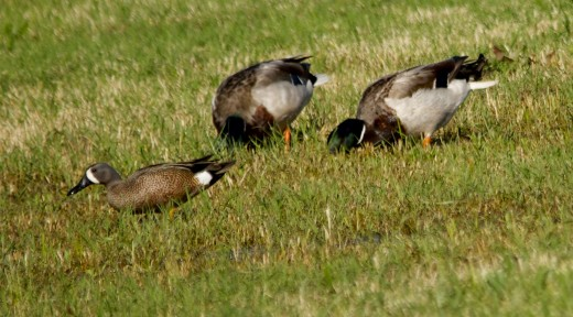 See How Much Smaller the Blue-winged Teal is with Mallards Beside Him?