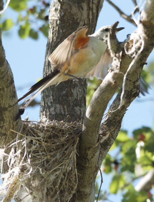 Scissor-tailed Flycatcher Leaving Nest
