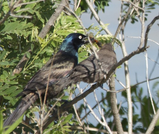 Male Great-ailed Grackle Feeding a Fledgling