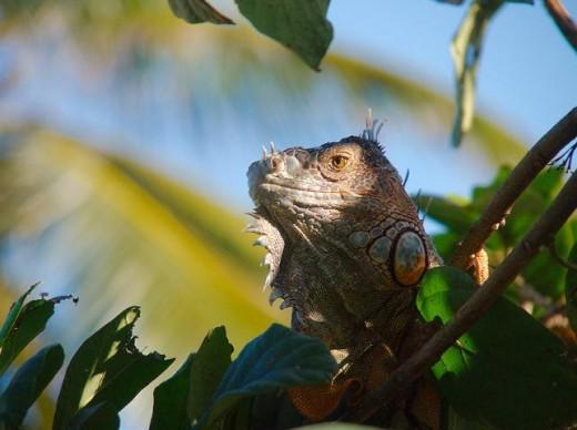 Captive green iguanas often fall victim to poor husbandry and stress.