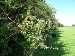 Hawthorn was home to the fairies so great care was taken never to disturb this beautiful tree.