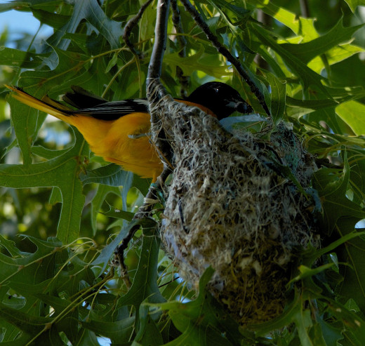 Baltimore Oriole Returning to Nest with Food For the Hungry Babies.
