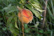 Ripe peach ready to pick in my home orchard.