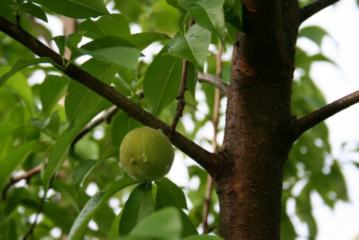 Unripe peaches are green, like this one.