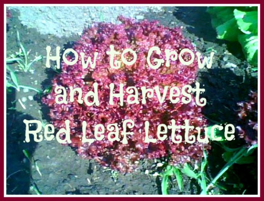 "Some red leaf lettuce from my garden that I took a photo of a few years ago. I added this fun and bright text to show people that it's about ""How to Grow and Harvest Red Leaf Lettuce"". In this photo it was OK to make the text really big."