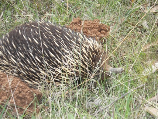 I had to wait a very long time to get a photo of this echidna's snout. Because they all look the same, I didn't bother naming it. :) I never know if I'm getting a repeat visit from the same echidna.