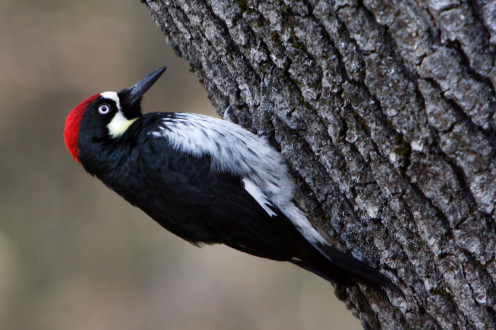 Written by photographer - 'There I was, waiting for a nuthatch to show up in a spot he frequents, when this Acorn Woodpecker jumped in front of my lens. He was only about 12 feet away on a Black Oak tree.'