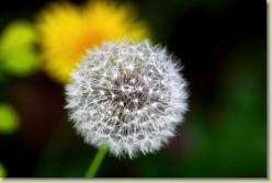 Health Benefits of Dandelion Root Tea And Greens