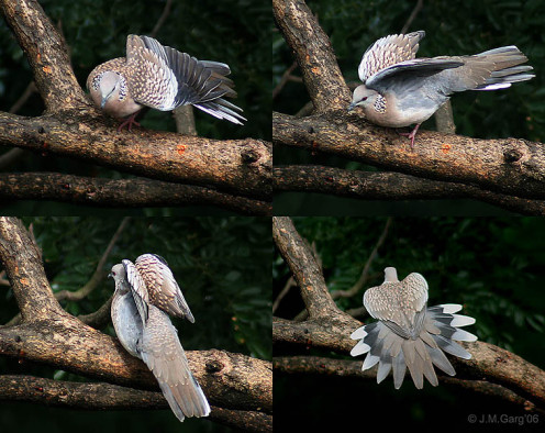 Spotted Dove Streptopelia chinensis in Kolkata, West Bengal, India. (See capsule 'Sunning.')