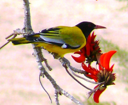 Black-headed Oriole