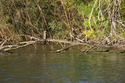 A pair of Cormorants