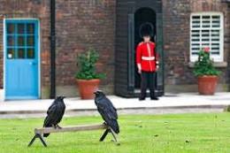 Ravens at Tower of London