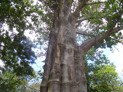 Big Tree - Foster Botanical Garden