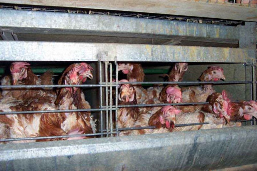 The confinement of animals in battery farms is the reason many turn to 'Free-Range' eggs.