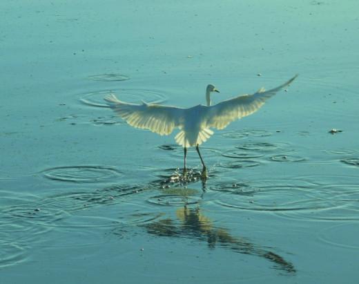 """White Heron """"walking on water""""."""