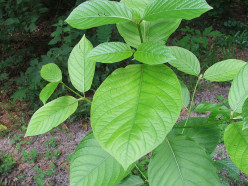 Kratom -- A Promising Herbal Pain Reliever