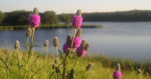 Purple prairie clover, one of the beautiful native plants in the prairie at Silver Springs.