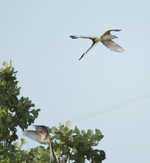 Scissor-tailed Flycatcher Mating Rituals