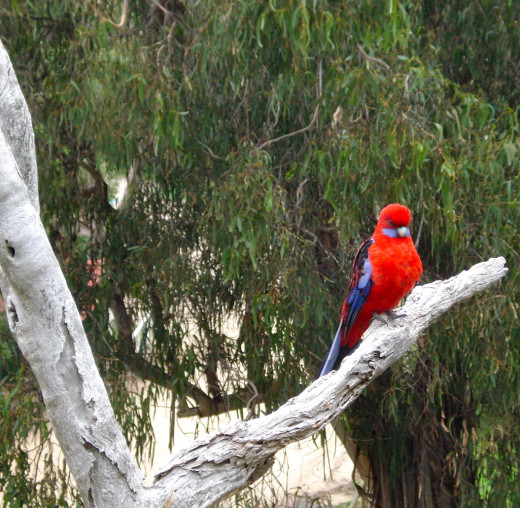 Crimson Rosella: Can be Seen Close to Home or on a Day Trip