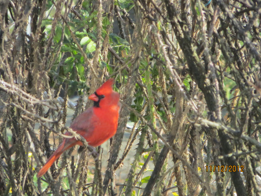 A cardinal in a rose bush.